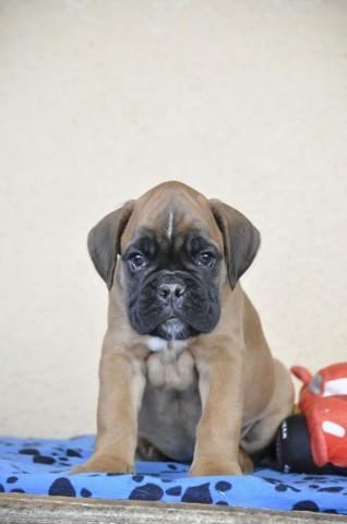 Lucas, chiot Boxer