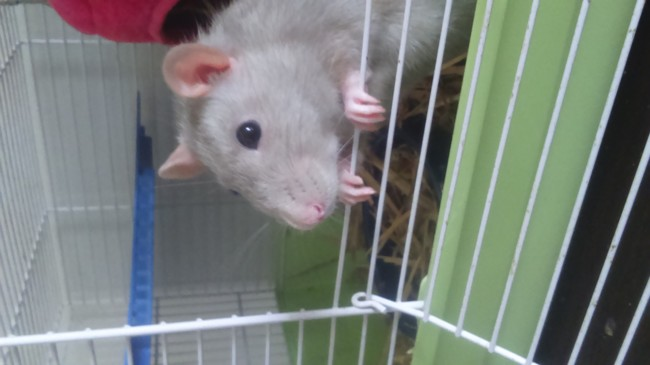 Luciole, rongeur Rat