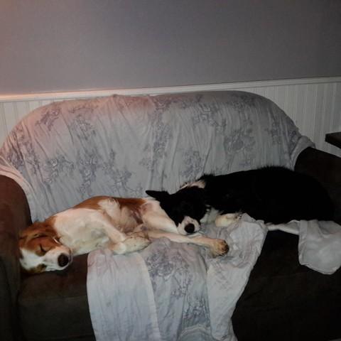 Lucky, chien Épagneul breton
