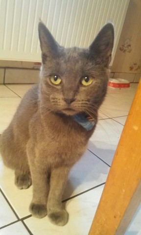 Lucky, chat Chartreux