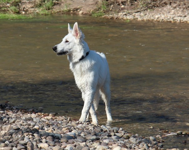 Ludo, chien Berger blanc suisse