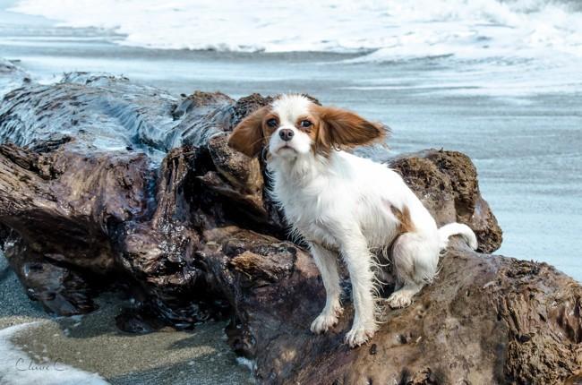 Luna, chien Cavalier King Charles Spaniel