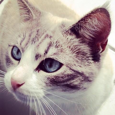Luna, chat Siamois