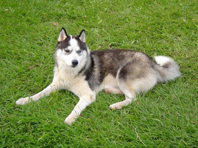 Luna, chien Husky sibérien