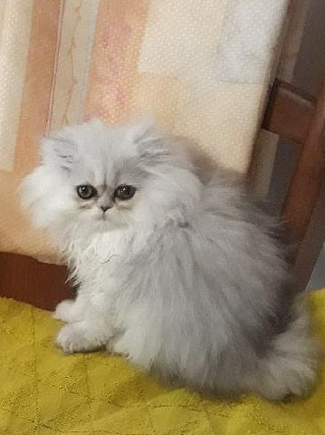 Luna, chaton Persan