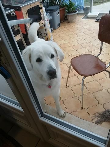 Lynka, chien Berger polonais de Podhale