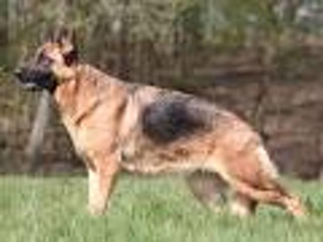 Lynx, chien Berger allemand