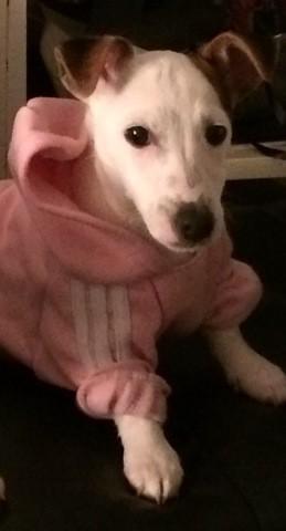 Lixya, chien Jack Russell Terrier