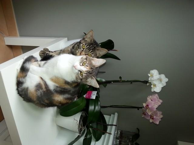 Lyzzie, chat Européen