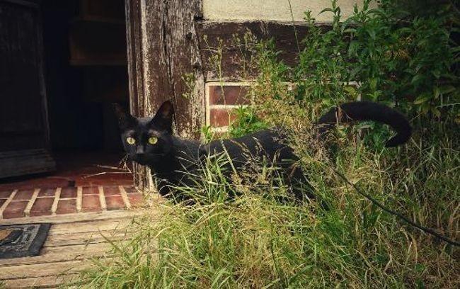 Ménade, chaton Européen