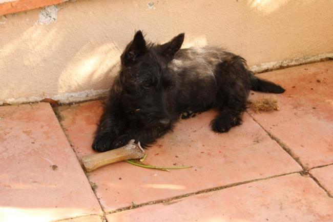 Maëlle, chiot Scottish Terrier