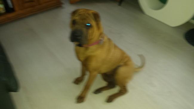 Maiden, chien Shar Pei