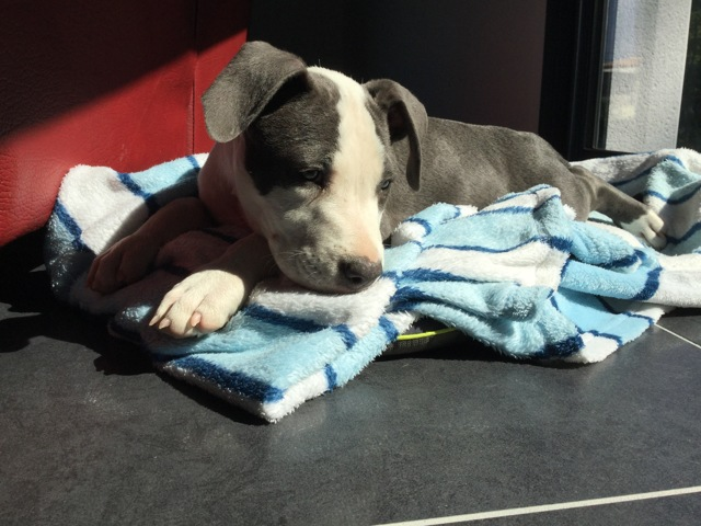 Maiko, chiot American Staffordshire Terrier