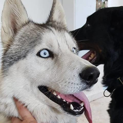 Maiko, chien Husky sibérien