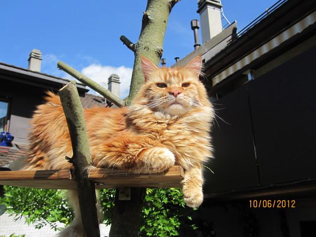 arbre chat maine coon images