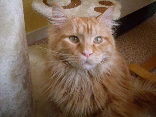 Iggy, chat Maine Coon
