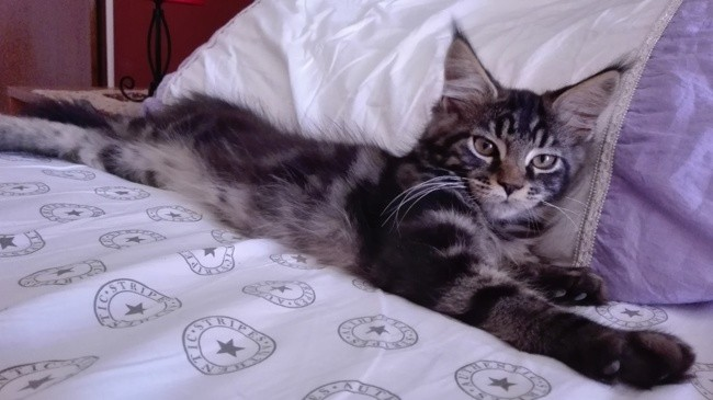 Baloo, chat Maine Coon