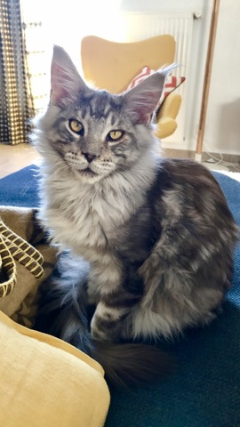 Milo, chat Maine Coon