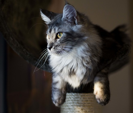 Meiko, chat Maine Coon