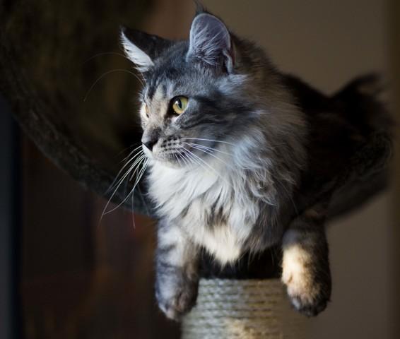 Meiko, chaton Maine Coon