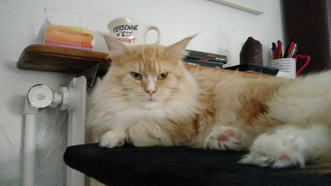 Little, chat Maine Coon