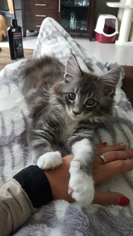 Silver, chaton Maine Coon