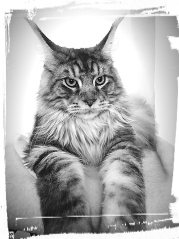 Neptune, chat Maine Coon