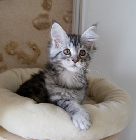 Pixelle, chat Maine Coon