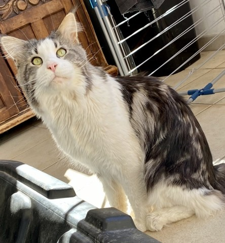 Alfa, chat Maine Coon