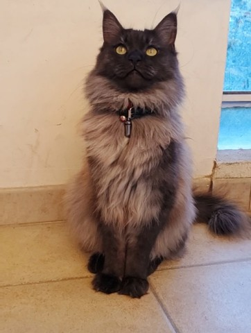 Omega, chat Maine Coon