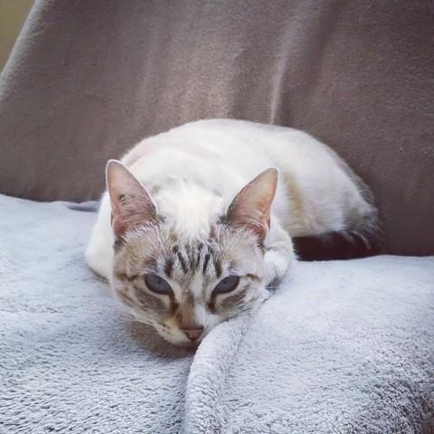 Maiwenn, chat Siamois