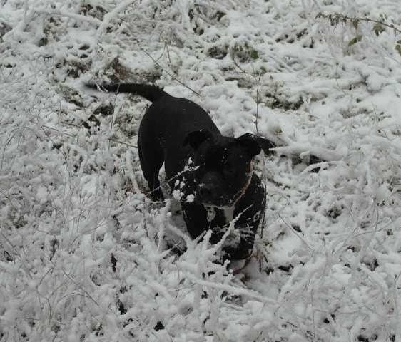 Maka, chien American Staffordshire Terrier