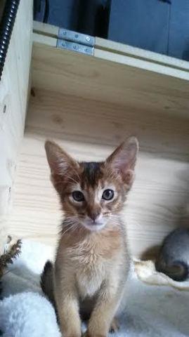 Malia, chaton Abyssin