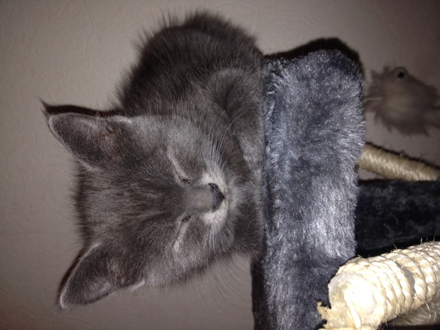 Malibu, chaton Gouttière