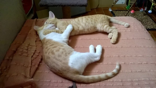 Malo Et Luma à Adopter, chaton Européen