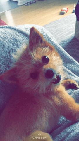 Mambo, chien Spitz allemand