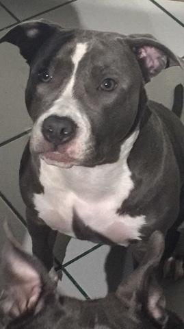 Manaya Blue, chien American Staffordshire Terrier
