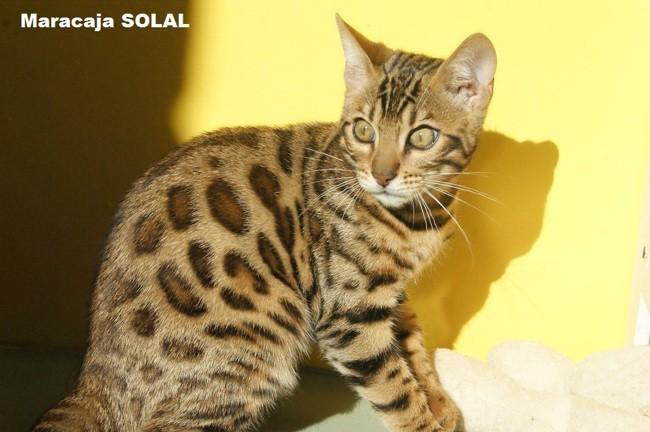 Maracaja Solal, chaton Bengal