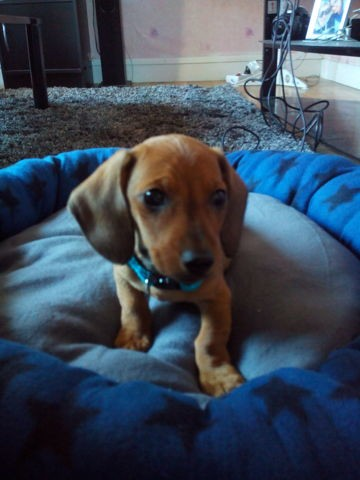Marcel, chien Teckel