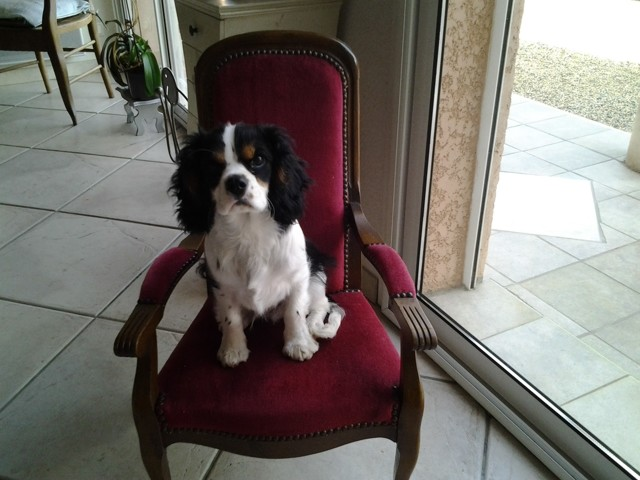 Marcus, chiot Cavalier King Charles Spaniel