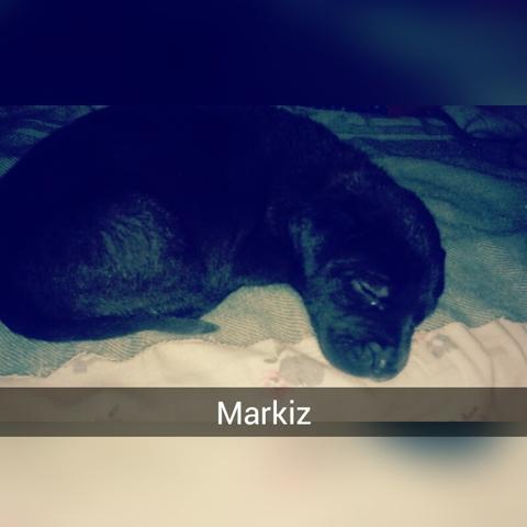 Markiz, chien American Staffordshire Terrier
