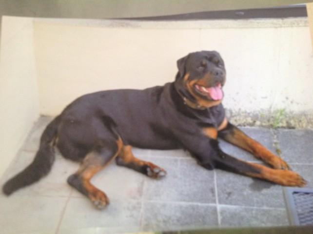 Marley, chien Rottweiler