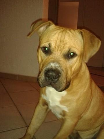 Marley, chien Staffordshire Bull Terrier