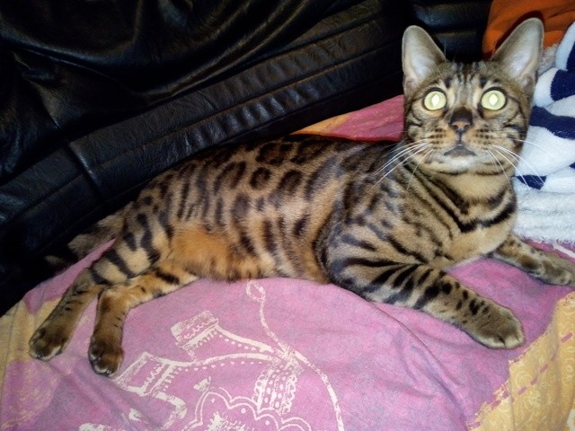 Marty, chat Bengal