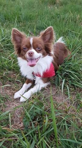 Matcho, chien Chihuahua