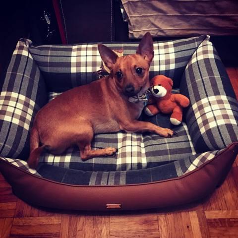 Matias, chien Pinscher