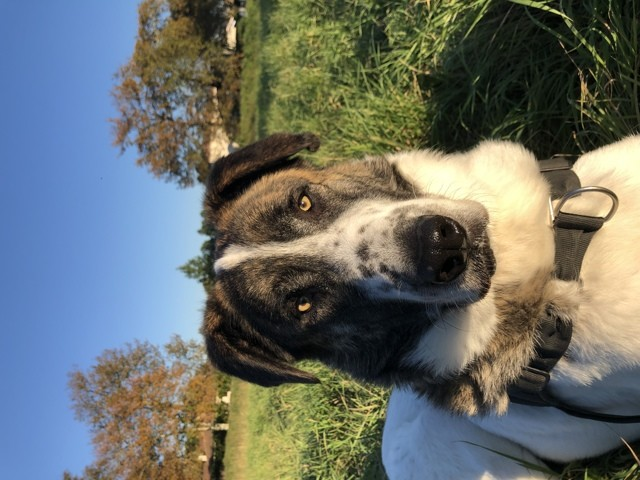 Pupy, chien Mâtin espagnol