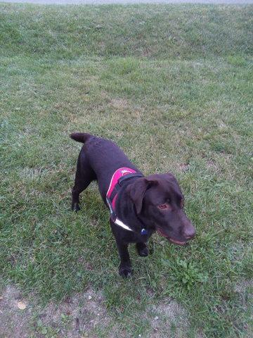 Maverick, chien Labrador Retriever