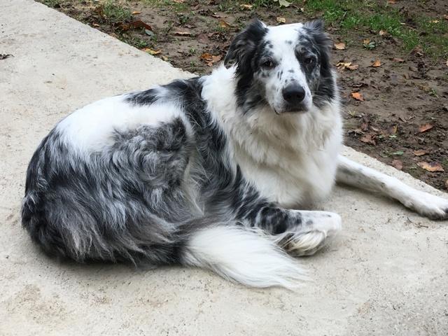 Max, chien Border Collie