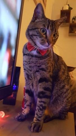 Max, chat Européen